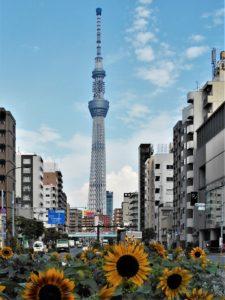 向日葵と東京スカイツリーの画像