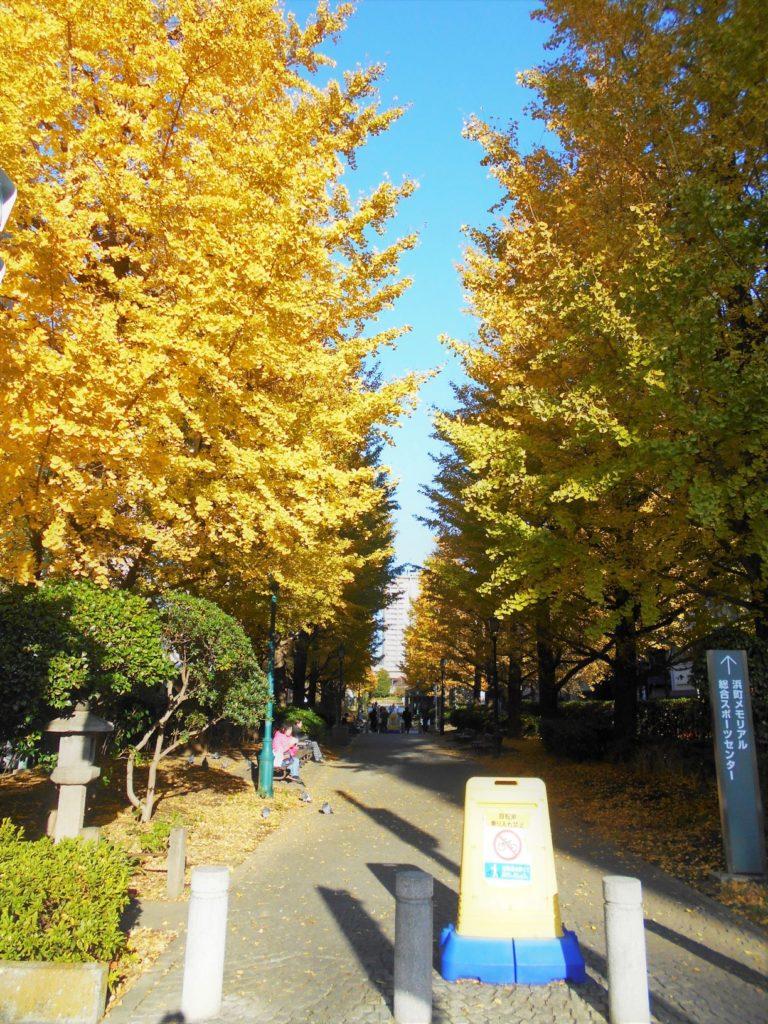 黄葉した浜町公園の銀杏並木の画像。