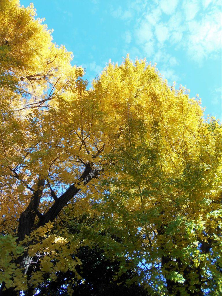 青空と銀杏の黄葉の画像.