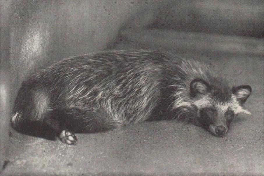 「狸」(『花鳥写真図鑑4』岡本東洋(平凡社、1930)国立国会図書館デジタルコレクション)の画像。