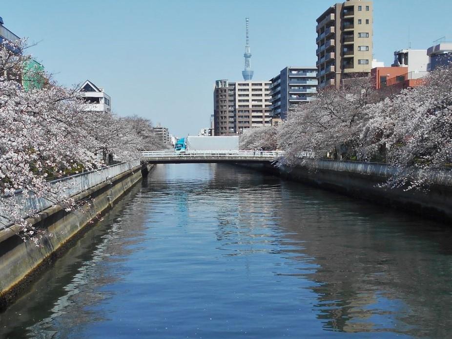 桜と扇橋の画像。